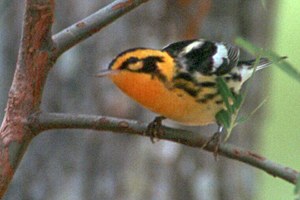Blackburnian Warbler at Anahuac National Wildlife Refuge